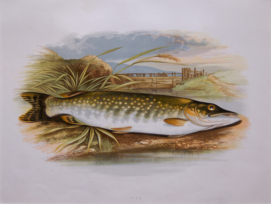 British Freshwater Fishes Pike Houghton 1879